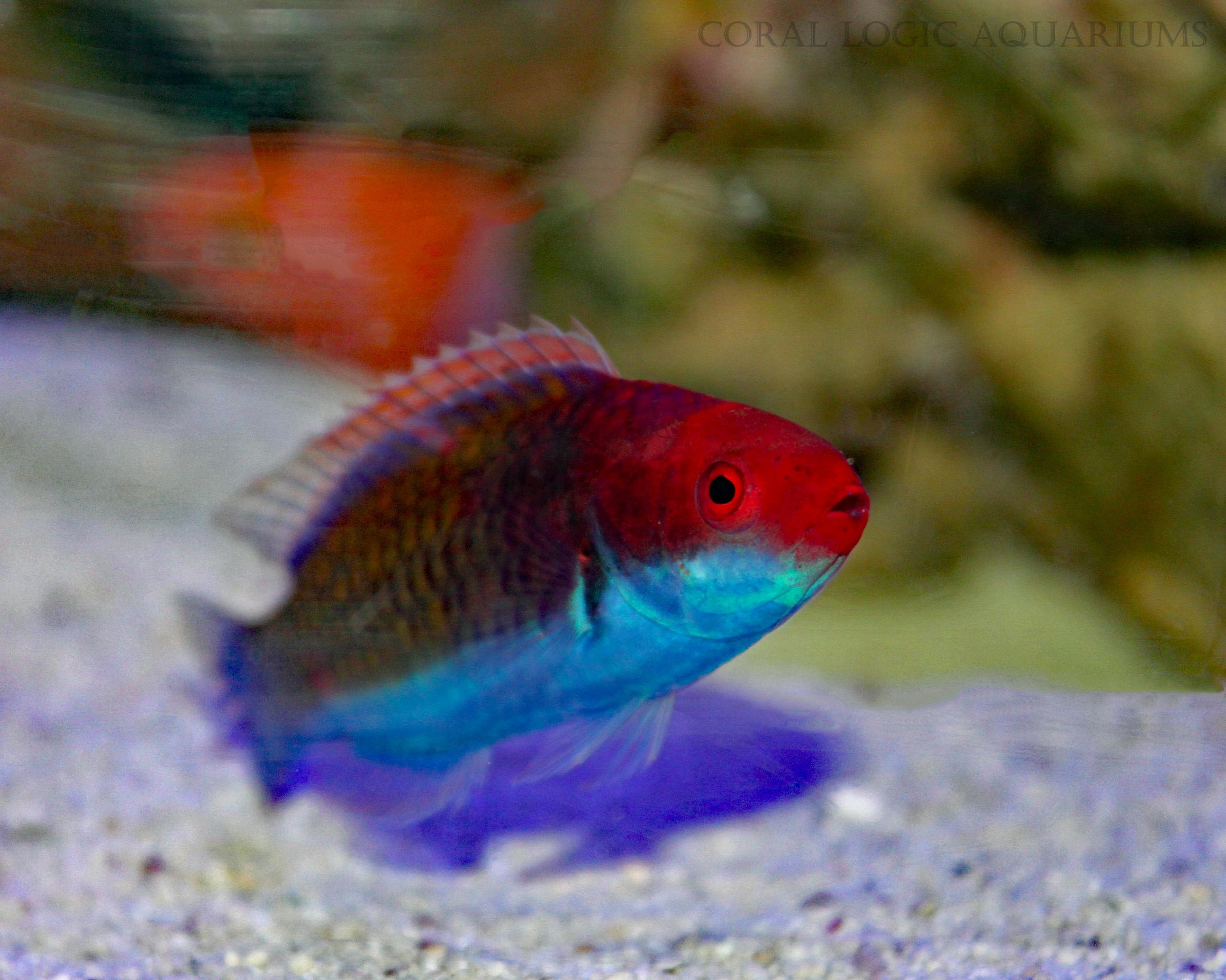 Freshwater aquarium fish jacksonville fl - Red Head Fairy Wrasse