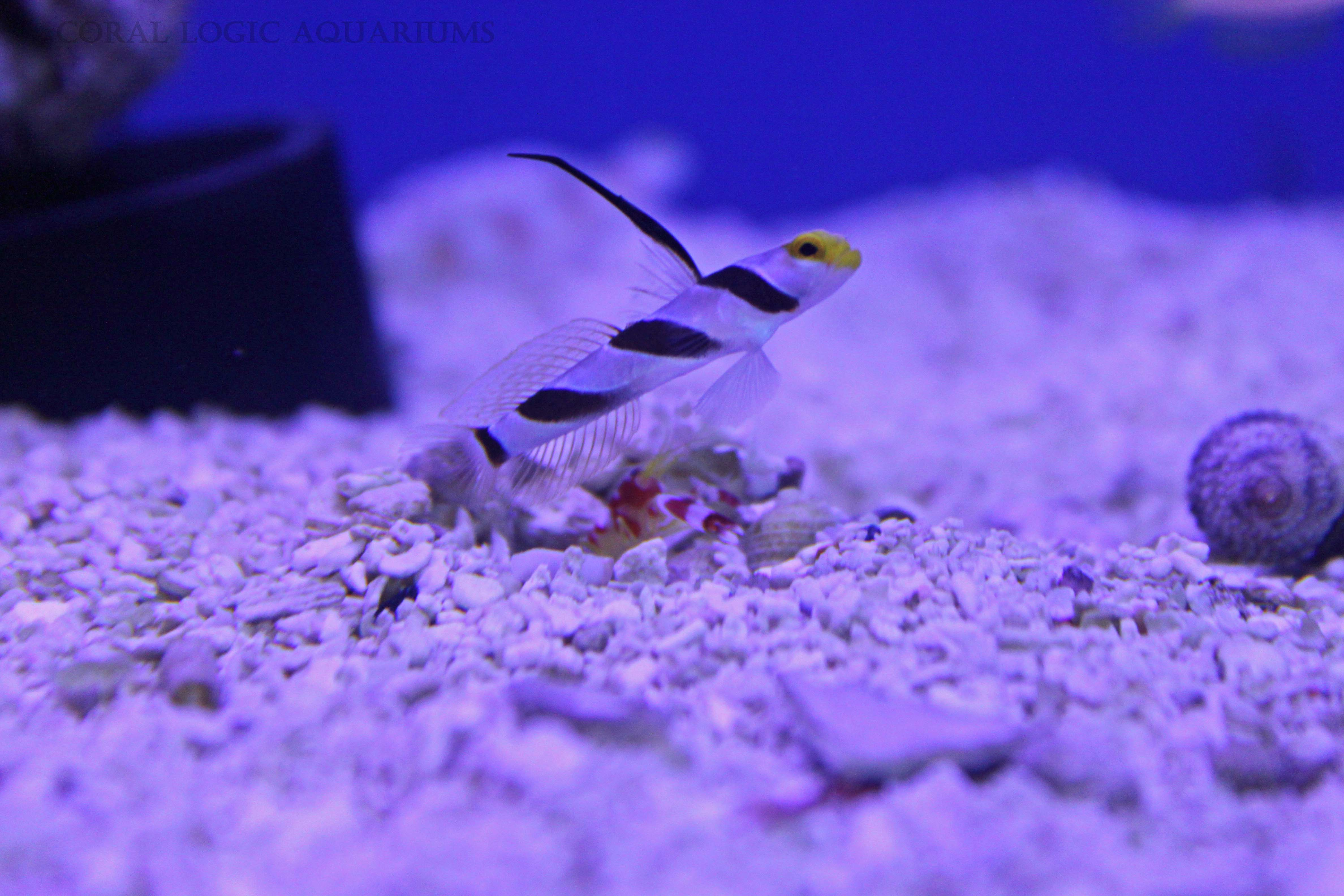 Freshwater aquarium fish jacksonville fl - Hi Fin Red Banded Goby With Candy Pistol Shrimp